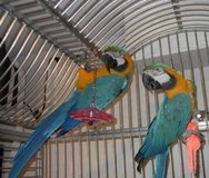 Pair of vaccinated blue and gold macaw parrots in Fort Drum, New York