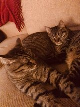 Cats free to good home in Fort Leonard Wood, Missouri