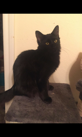 black kitty half Persian half Maine coon in The Woodlands, Texas