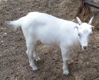 Lamancha Billy Goat in Fort Gordon, Georgia