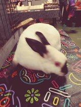 In cold shed need good indoor homes for 2 sweet bunnies in Chicago, Illinois