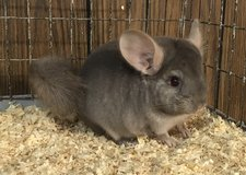 """3.5 Month Old Tan Male Chinchilla Kit (Baby) -- """"Thing 2"""" in Chicago, Illinois"""