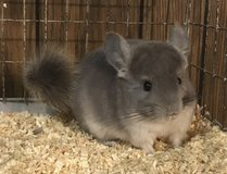 3.5 Month Old Violet Male Chinchilla Kit (Baby) -- very sweet! in Chicago, Illinois