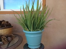 Large Aloe Vera plant 5 gal pot in Yucca Valley, California