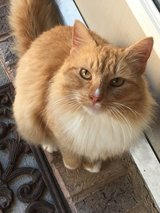 """""""Mr. Wonderful""""?? kitty for adoption in Spring, Texas"""