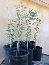 Mesquite trees draught resistant-make great shade trees in Yucca Valley, California