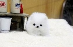 yvfr  Adorable pomeranian babies for salE in Chicago, Illinois