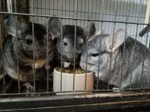 Trio of 1-1.5 Year Male Chinchillas -- Ebonies & Sapphire -- sweet! in Chicago, Illinois