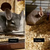 Pair of Grey & Beige Male Chinchillas Looking for Home -- Gumby & Pokey in Chicago, Illinois