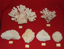 Natural Coral Collection ~ Cauliflower Brain ++ Impressive ~ Priced Individually or All for $100 in Aurora, Illinois
