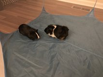 2 guinea pigs w/ cage in Yorkville, Illinois