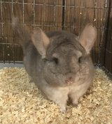 8 Month Old Hetero Beige Male Chinchilla -- very sweet! in Chicago, Illinois