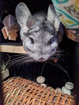 "6.5 Year Old Grey Male Chinchilla Up for Adoption -- ""Henry"" in Chicago, Illinois"