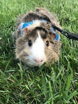 Young male Abyssinian Guinea pig, cage and supplies in Chicago, Illinois