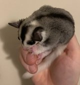 Stunning male whiteface mosaic sugar glider Joey in Chicago, Illinois