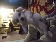 Chipoodle 3month old female puppy in Travis AFB, California