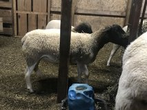 Reg dorper sheep two available in Fort Polk, Louisiana