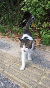 Can anyone foster or adopt this sweet male cat? in Okinawa, Japan