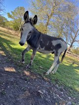 donkey in Fort Polk, Louisiana