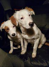 Jack Russel Mix in Conroe, Texas