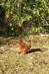 red Cochin bantam rooster in The Woodlands, Texas