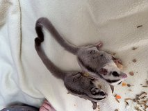 Sugar gliders in Fort Polk, Louisiana