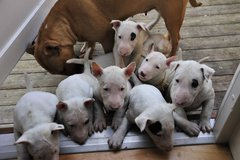 stunning  miniature bull terrier puppies available and ready in Chicago, Illinois