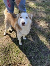Female Husky in Fort Polk, Louisiana