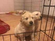 Beautiful Golden Retriever puppy available for sale in Eielson AFB, Alaska