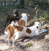 Jack Russell mix in Conroe, Texas