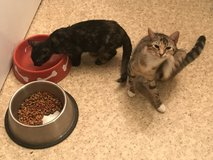 2 female kittens free to good home in Fort Polk, Louisiana