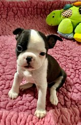 Boston Terrier puppies in Fort Polk, Louisiana