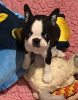 Beautiful  Boston Terriers in Fort Polk, Louisiana
