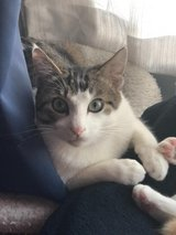 Adorable kitten looking for home in Okinawa, Japan