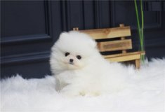 akyp Gorgeous Pomeranian Puppies for sale in Kansas City, Missouri