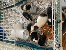 Guinea pigs in Chicago, Illinois