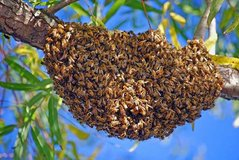 WANTED HONEY BEE SWARMS: in Fort Leonard Wood, Missouri