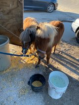 Male and female ponys + trailer in Houston, Texas