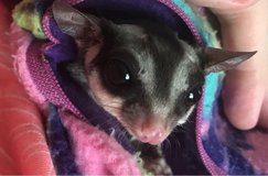 Sugar Glider in Clarksville, Tennessee