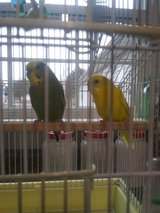 Parakeets and cage in Fort Leonard Wood, Missouri