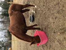 Horse For Sale in Leesville, Louisiana