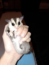 Sugar Gliders in Clarksville, Tennessee
