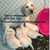 Gorgeous British Labrador Pups in Fort Leavenworth, Kansas