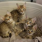 Serval and Savannah Kittens in Chicago, Illinois