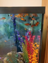 Platy Fish for Free! in Bolingbrook, Illinois