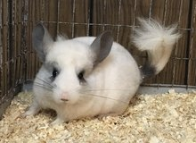 Sale @ NWI Chinchilla Rescue!  Adoption fees reduced!! in Chicago, Illinois