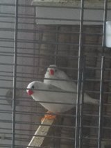 White zebra finches + new cage ,birdseed in Chicago, Illinois