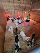 Baby Goats in Travis AFB, California