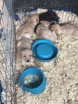 purebred lab pups in Fort Drum, New York