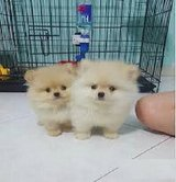 tv--Pomeranians, 12 weeks old. Extremely beautiful girls and boys. in Houston, Texas